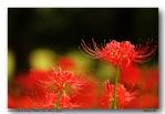 이지포토 님의 꽃무릇과 동양연
